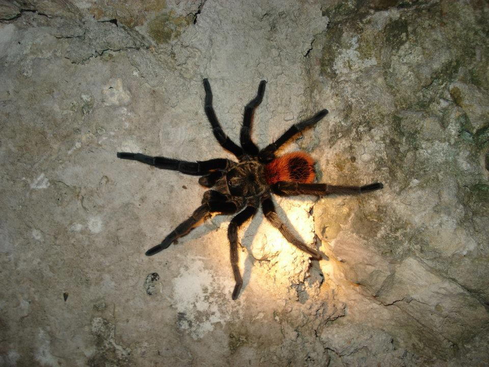 spiders belize