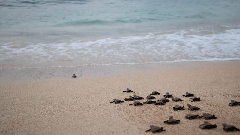 Turtle hatching Sao Tome