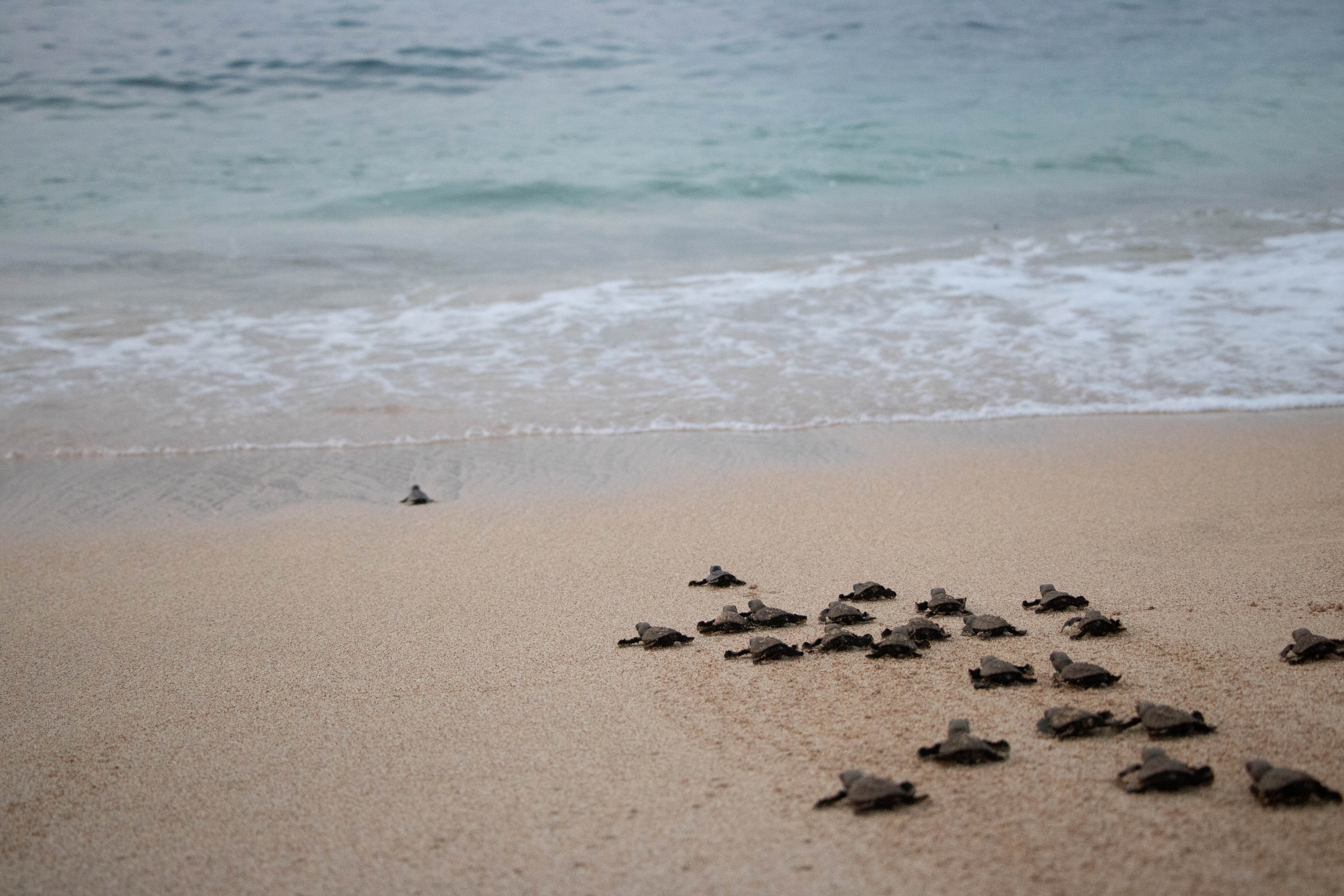 Turtle hatching Sao Tome