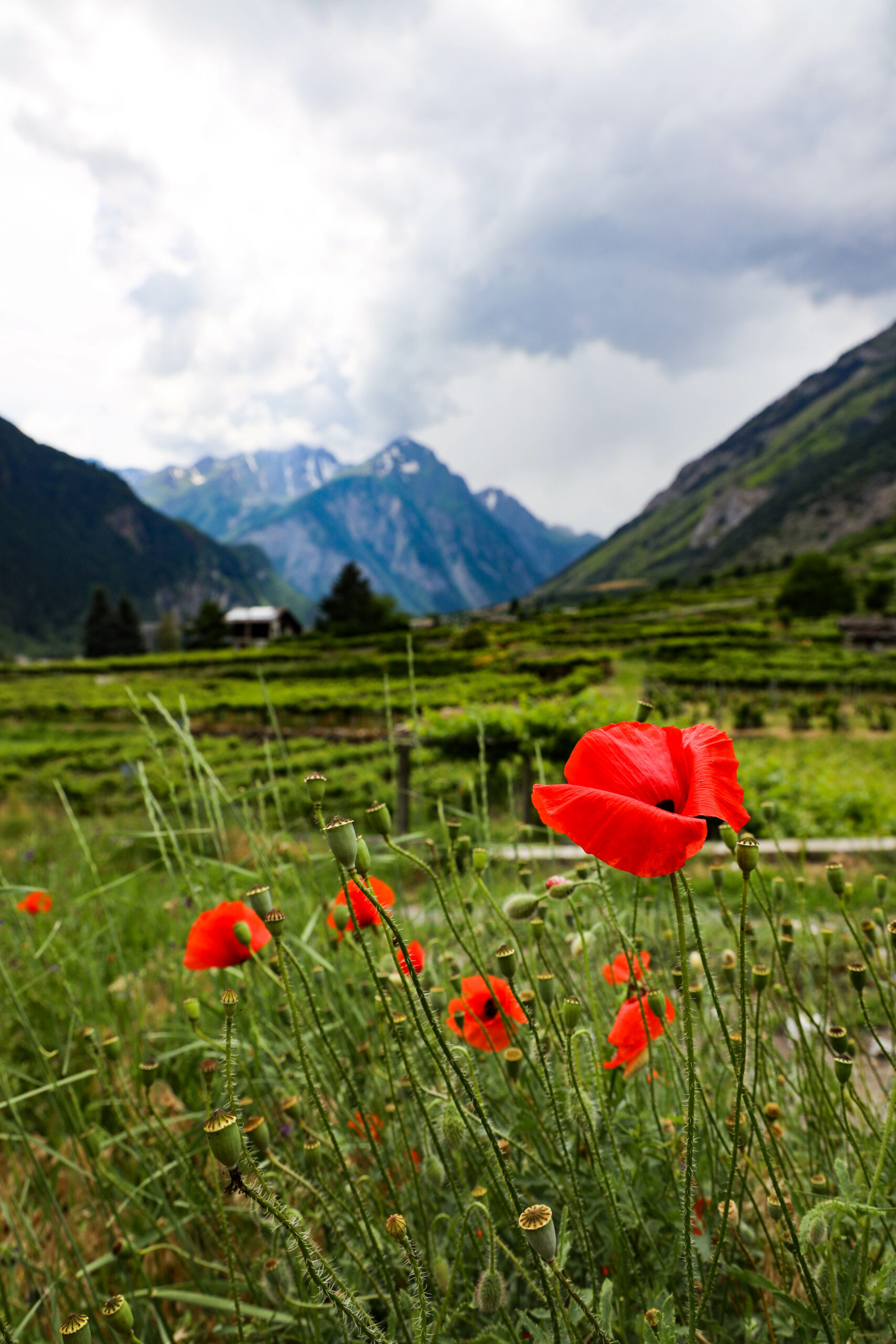 Valle D'Aosta - TravelRebel red flower, claprose, mountains in the background, cloudy day, green lush mountains