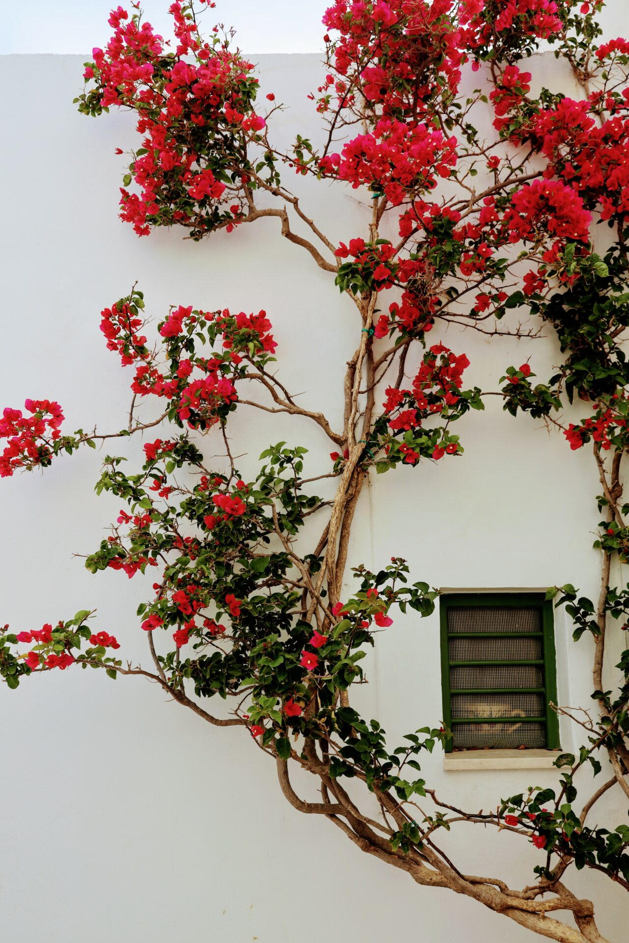 Unspoiled Greece, Greek house, white walls, pink flowers