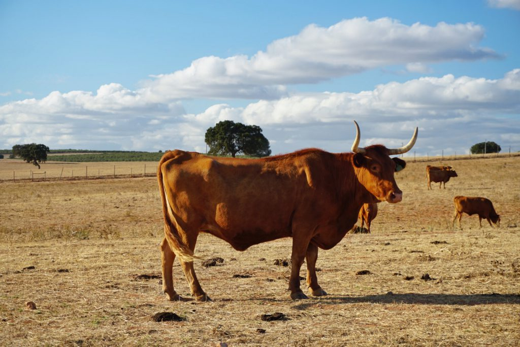 Alentejo Portugal - Typical cow/bull of Portugal