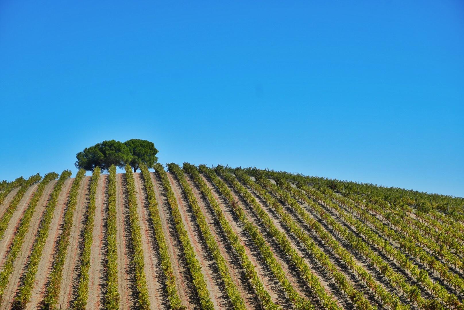 Wijngaarden in Alentejo - Portugal - blauwe lucht